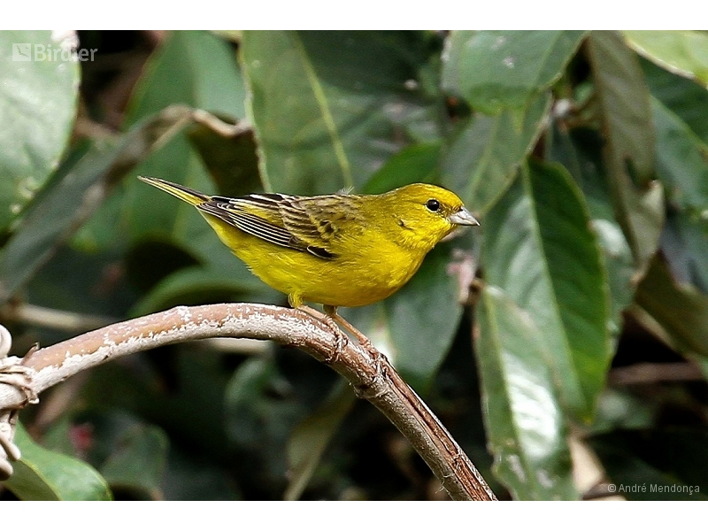 Stripe-tailed Yellow-Finch